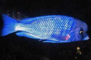 Blue Dolphin Cichlid,