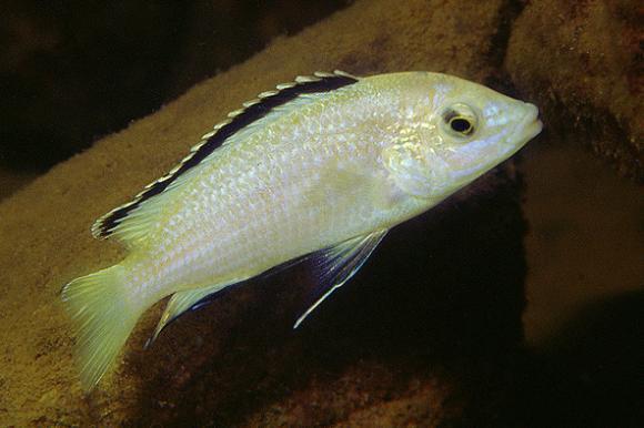 White Lab Cichlid