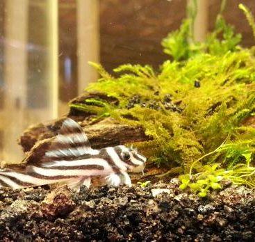 L046 Zebra Pleco