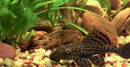 Common Plecostomus or Pleco